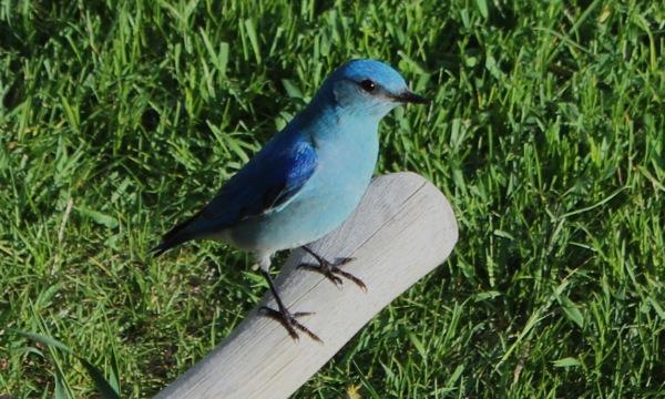 Bluebird on axe handle