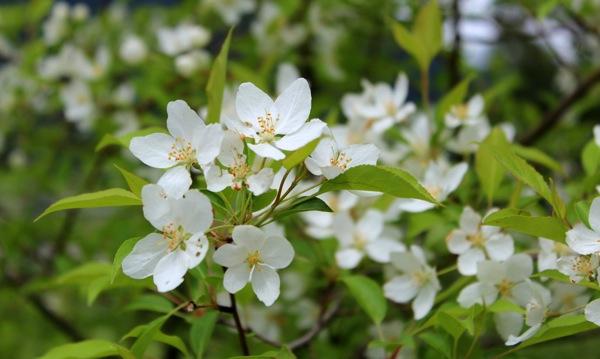 Siberian cherry closeup