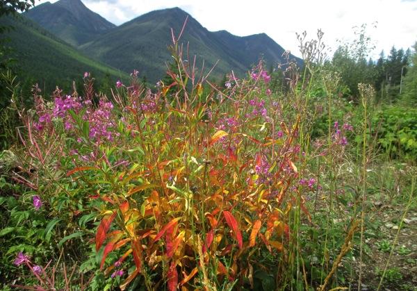 Fireweed foliage