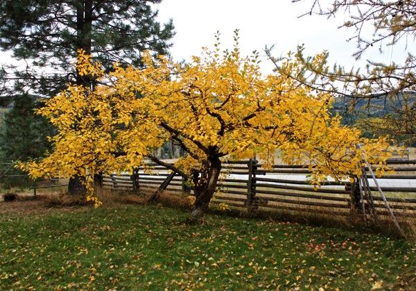 October apple tree