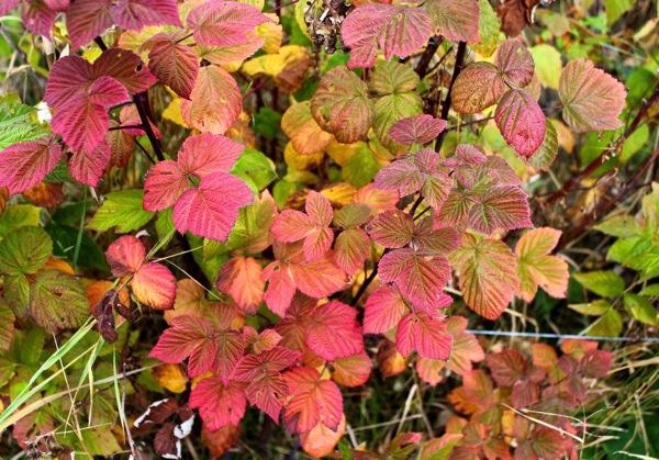 October raspberry
