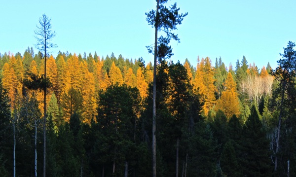 Larches aflame
