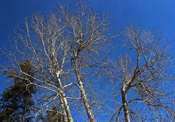 Bare cottonwoods against sky