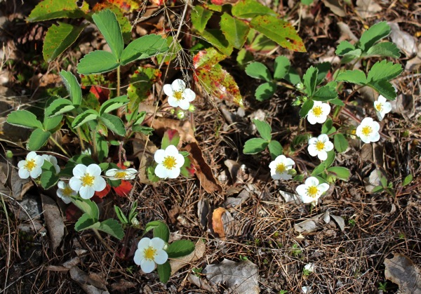 Wild strawberry in bloom