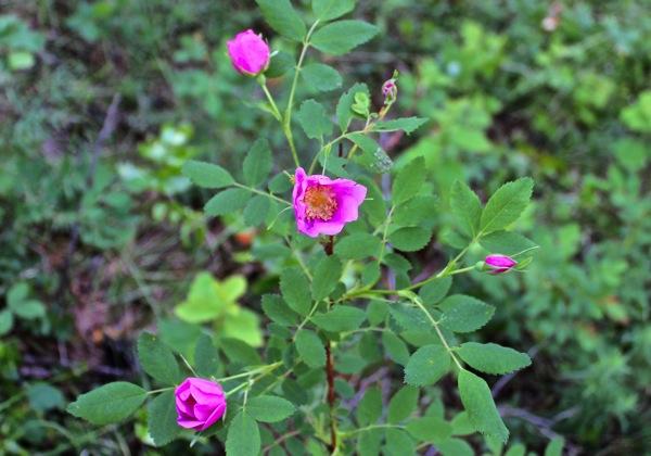 Nootka rose 2