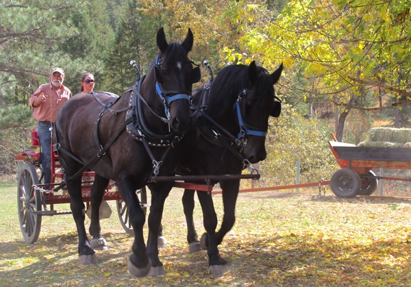 Percherons to the arena