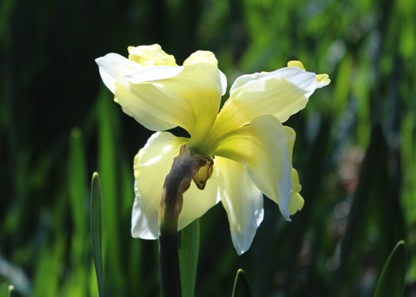 Sole narcissus
