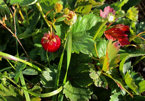 Strawberry sept 2014