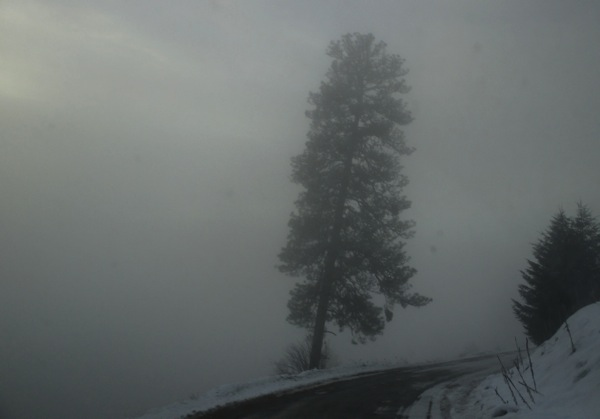 Yellow pine in fog