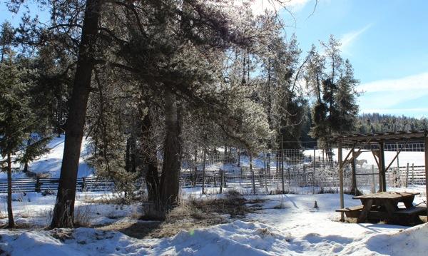 Hoarfrost on cottonwoods