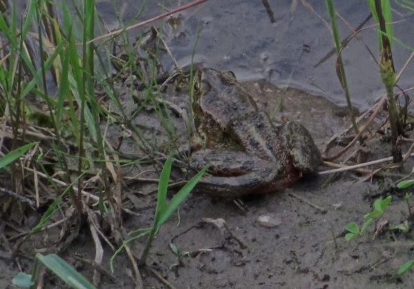 Frog closeup 2