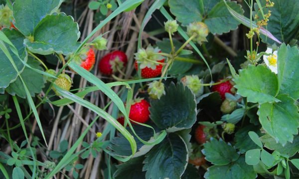Berry crop 2