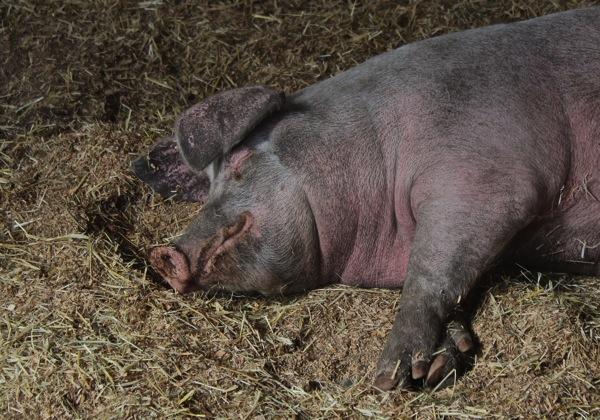 Well earned porcine nap