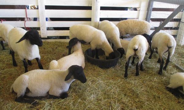 Sheep composition