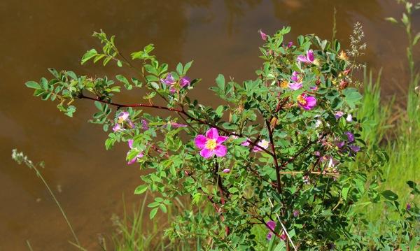 Pondside roses