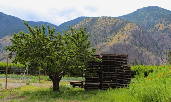 Cherry tree keremeos