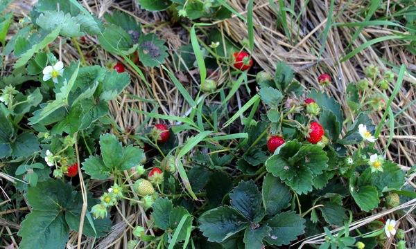 Berry crop