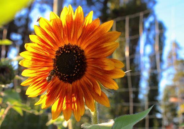 Late honeybee