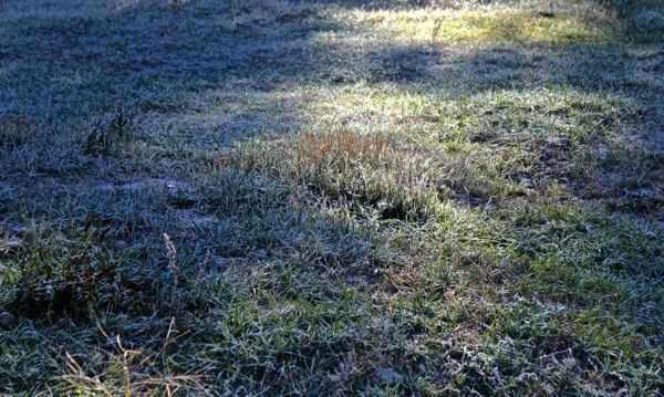 Frosted grass in sun