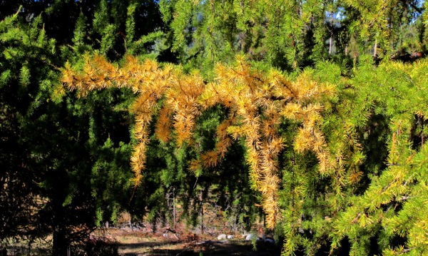 Larches turning