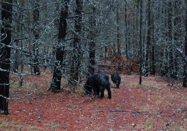 Doghair pine