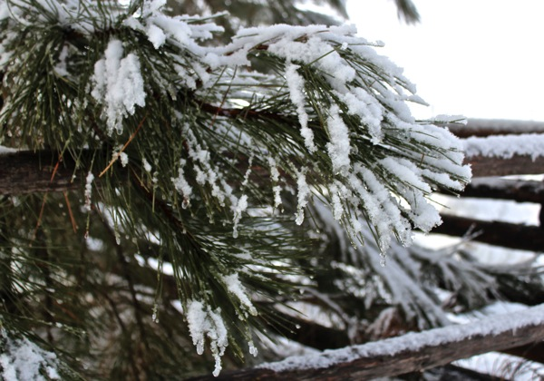 Yellow pine and snow