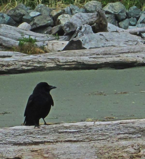 Raven on beach